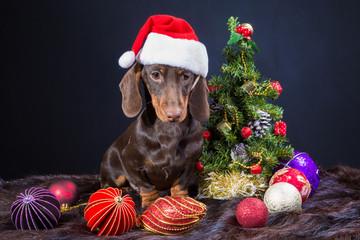 dachshund with red santa cap near Christmas tree
