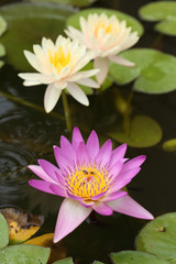 pink and white lotus or water lily