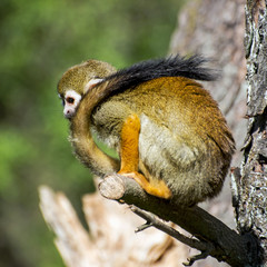 Monkey with a long tail