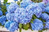 Beautiful blue hortensia blossom