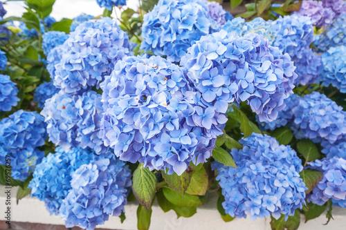 Staande foto Hydrangea Beautiful blue hortensia blossom