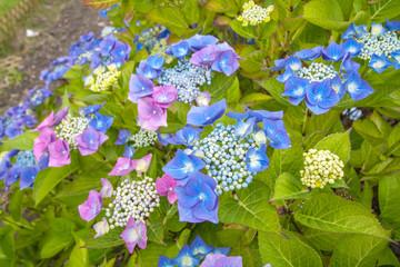 Blue hydrangea blossom