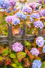 Violet, pink and blue hydrangea blossom