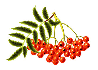 Rowan on a white background. Vector illustration.