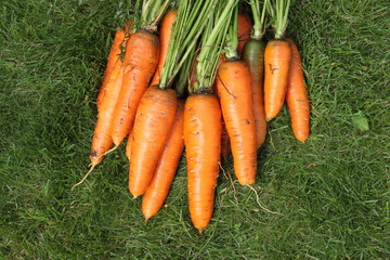Washed carrots from a garden-bed on a green grass
