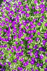 Flowerbed with violet petunias