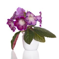 sinningia flowers