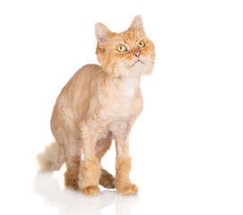 funny shaved red cat