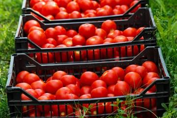 Tasty Tomatoes n Boxes