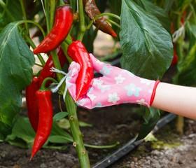 Red Pepper Harvest