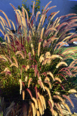 Fountain grass.
