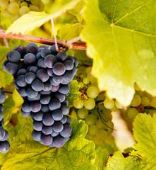 Blaue Weintrauen