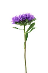 purple aster flower on a white background