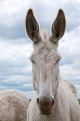 portrait of a prick eared white donkey