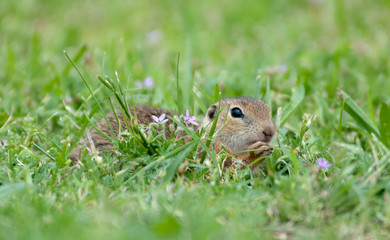 european ground squirrel hidden in the grass with lilac flowers
