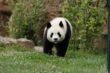 panda-1000