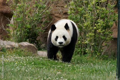 Deurstickers Panda panda-1000