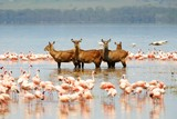 Family of waterbuck bathing