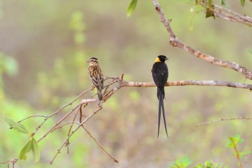 Long-tailed paradise whydah male and female
