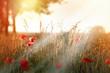 Sunset in field of red poppy flowers