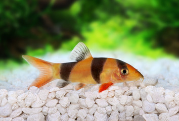 Clown loach tiger botia catfish Botia macracanthus