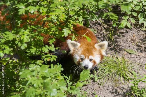 Foto op Canvas Panda Red panda (Ailurus fulgens)