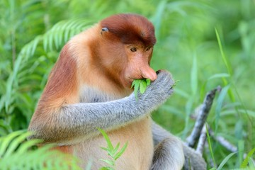Proboscis monkey eating fern