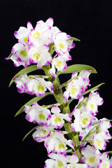 Dendrobium Orchid hybrids. Isolated on black
