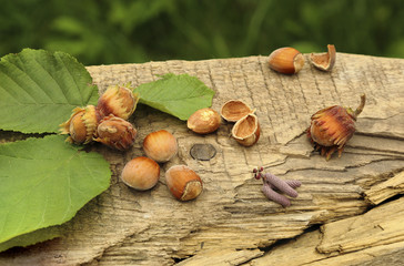 freshly picked hazelnuts on lying on the old board