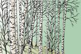 Fototapeta birch grove