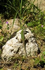 Lizard ( lacerta agilis) sitting on a rock