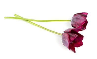purple tulip over white