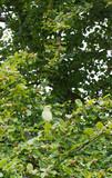 Feral Rose-ringed Parakeet, London. poster