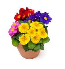 primula flowers in pot