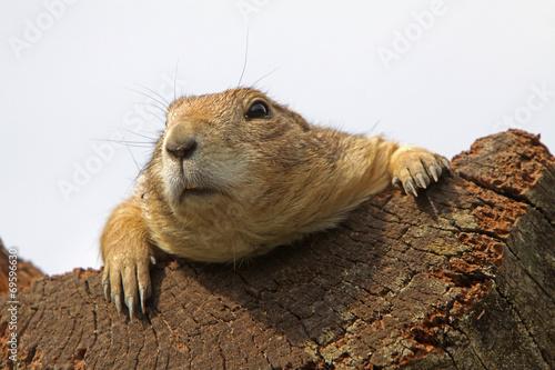 In de dag Eekhoorn Präriehund