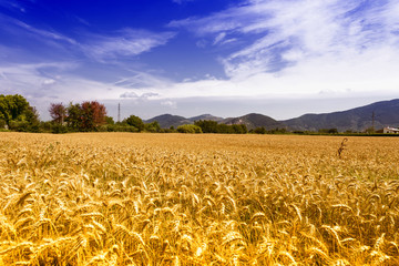 Wheat fields in Tuscany
