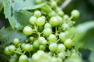 Small Grapes on a vine