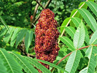 Drupes of a Staghorn Sumac Tree