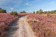 Weg durch blühende Heidelandschaft bei Wilsede, Lüneburger Heide
