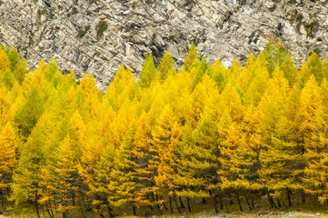 Autumn colors trees in Gran Paradiso National Park, Italy