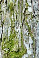 杉の木の樹皮