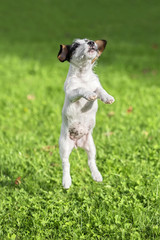 Nice Jack Russel Terrier puppy jumping