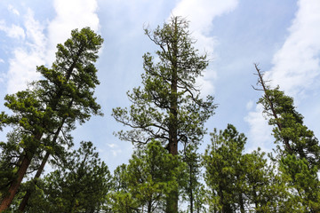Pine Trees In Payson, AZ
