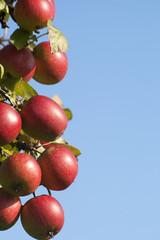 Ripe fruits on appletree