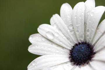 Rain Drops on African Daisy