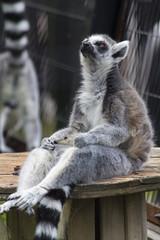 Sitting Ring tailed lemur