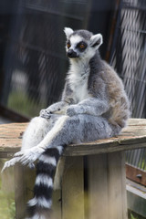 Sitting Ring tailed lemur