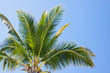 cime de cocotier sur fond de ciel
