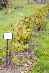 vineyard, Eberbach, Germany