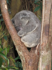 koala beim mittagsschlaf